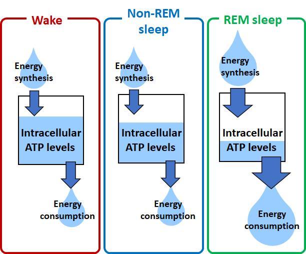 Intracellular ATP Levels