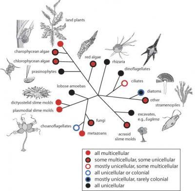 Representative Diverse Origins of Multicellularity