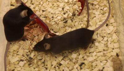 C57BL/6 Mice Lab Mice As Used In The Study