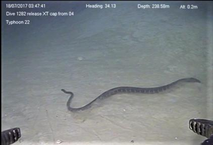 Record-Setting Dive of a Sea Snake Swimming at 240 Meters in the Deep-Sea 'Twilight Zone'