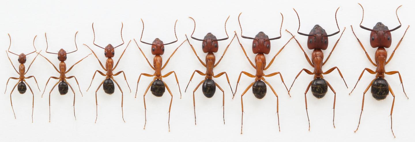 Playing with Size -- a Range of Florida Carpenter Ants