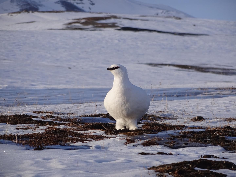The Svalbard rock ptarmigan