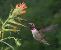 Broad-Tailed Hummingbird Reveals New Dimensions of Bird Vision