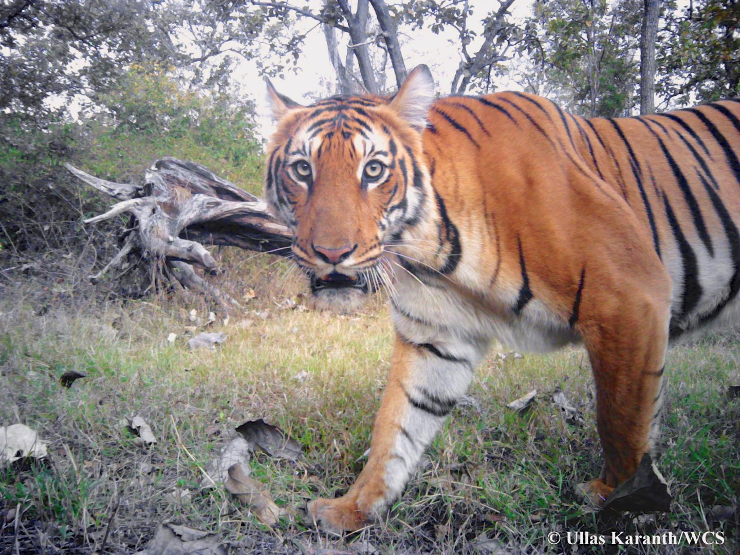 Tiger Photographed by Camera-trap in India
