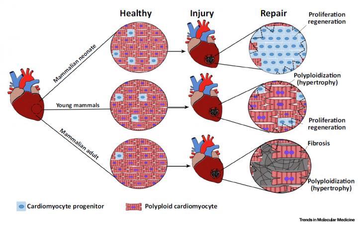 Repair after Acute Heart Injury