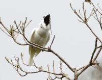 Male White Bellbird Screaming Mating Call