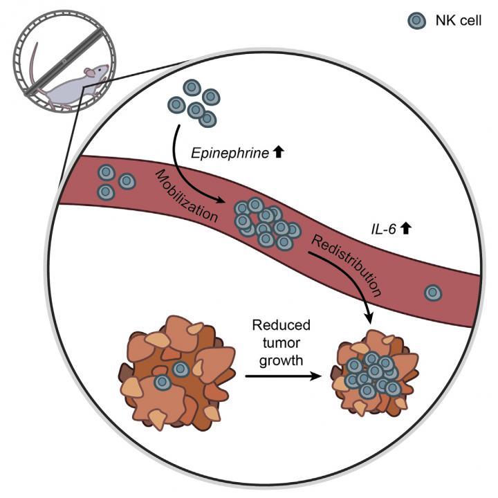 Exercise, Cancer, and Immunity