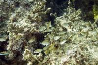Invasive Rabbitfish