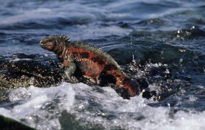 Galapagos' Marine Iguana