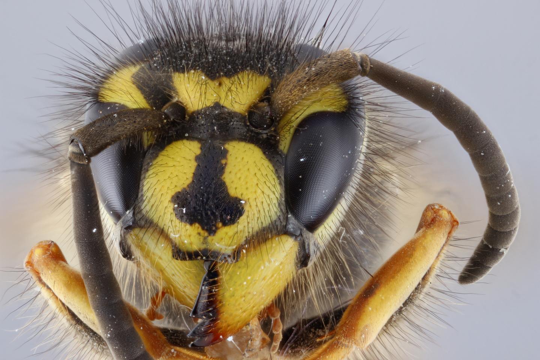 Hornet specimen