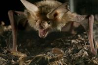Pallid Bat and Scorpion