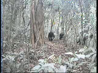 Cross River Gorilla Camera Trap Video