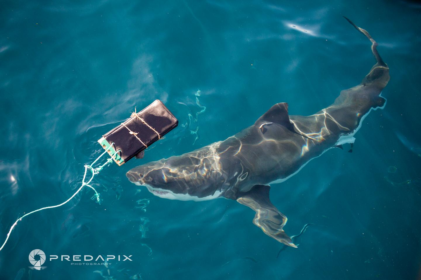 A New Wetsuit Material Tested with Sharks at Neptune Islands