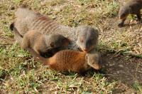 Banded Mongooses (1 of 3)