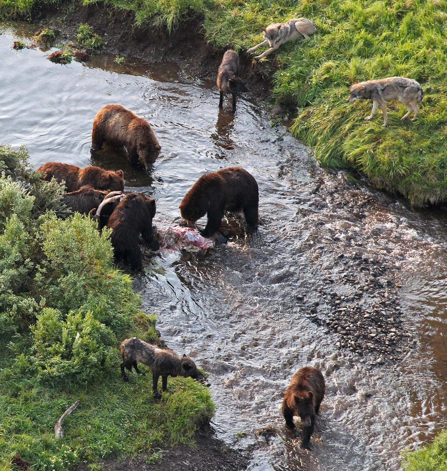In Yellowstone, Wolves Wait as Brown Bears Eat Their Spoils