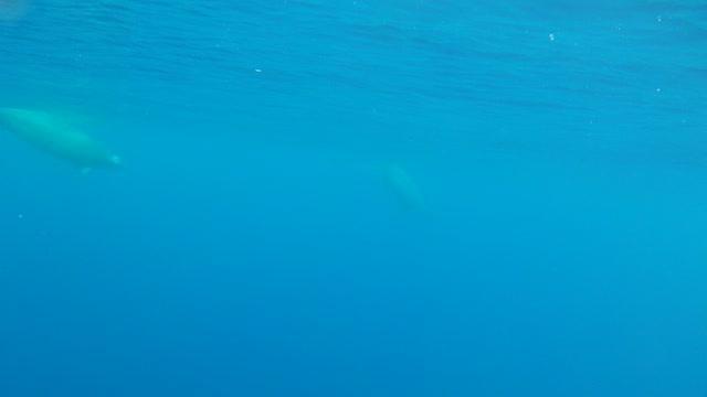 First Underwater Video of True's Beaked Whales