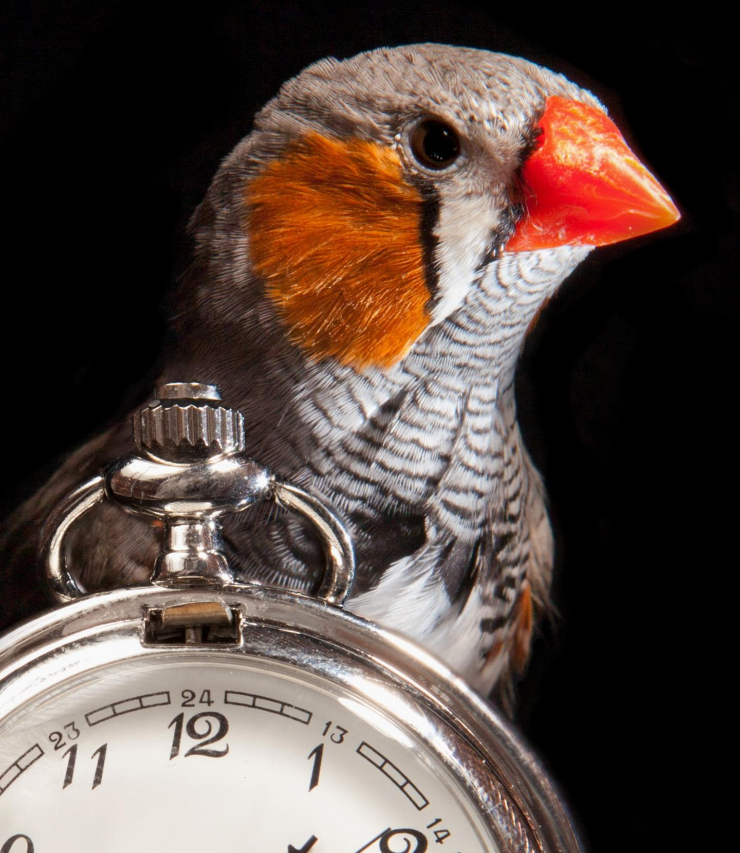 Finch Stands Over Stopwatch
