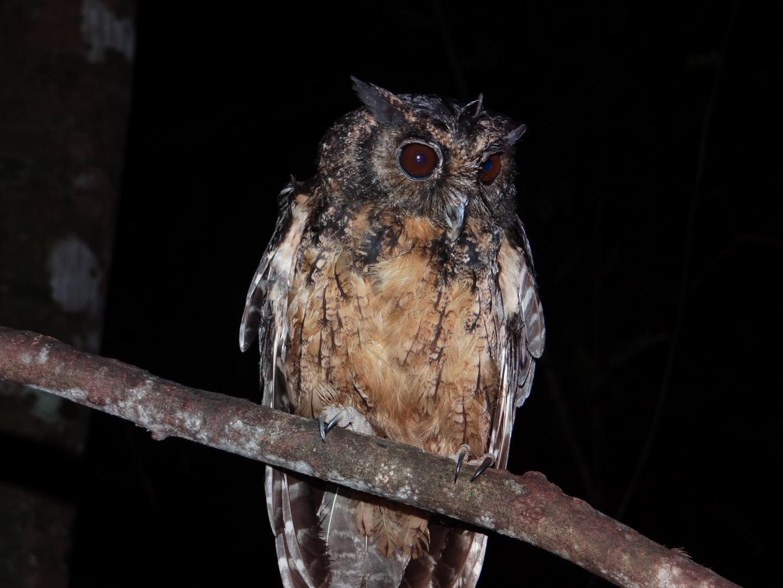 Xingu Screech Owl