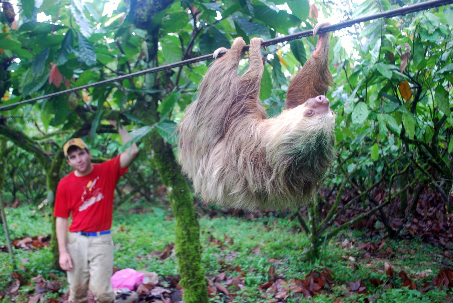 Sloth Moving on a Cable