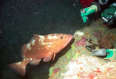 Red Grouper (2 of 2)