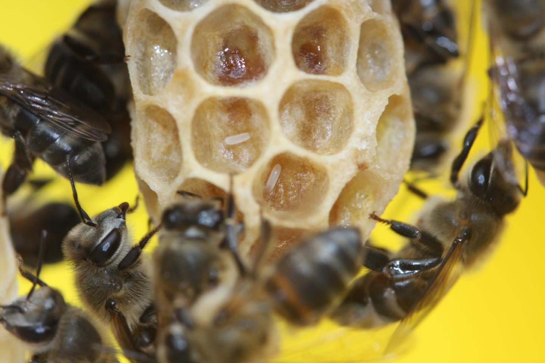 Cape Honey Bee Workers