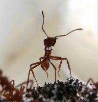 Leafcutter Ant with Visible White Coating of Antibiotic-Producing Bacteria (<em>Pseudonocardia</em>)