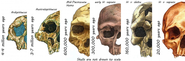Skulls of Hominins
