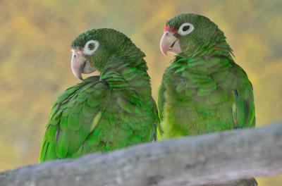 Local Funding Supports Open Access Sequencing of the Puerto Rican Parrot Genome