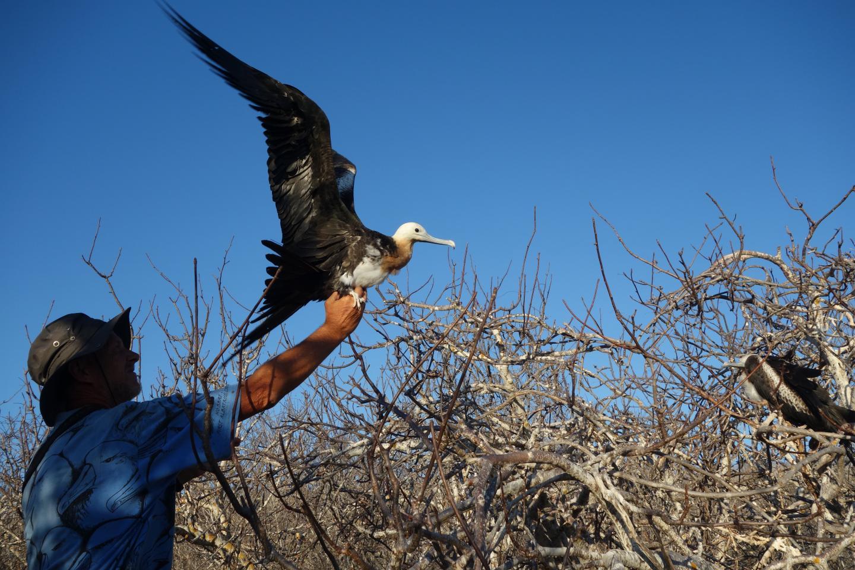 For Frigatebirds, Staying Aloft for Months is a Breeze