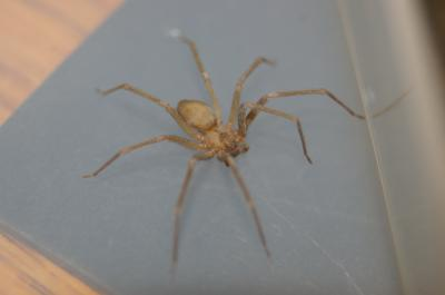 Toxic Brown Recluse Spider (2 of 2)