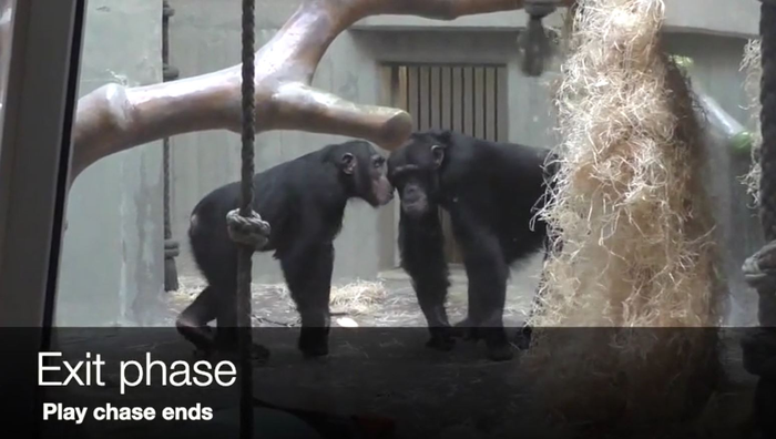 Chimps exiting a play interaction