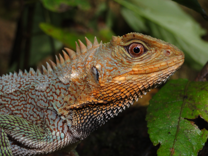 Closeup of a male of Enyalioides feiruzae