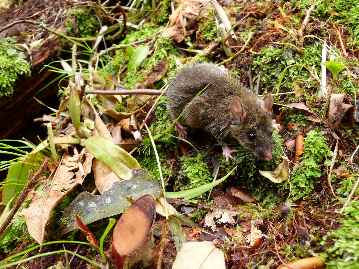 Worm-Eating Mouse