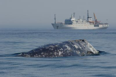 Western Gray Whale with Reseach Vessel