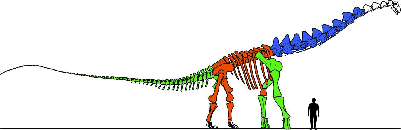 Drawing of the Skeleton of <em>Alamosaurus sanjuanensis</em>