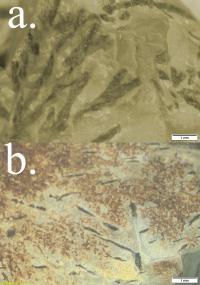 Microscopic View of Krapina Rock