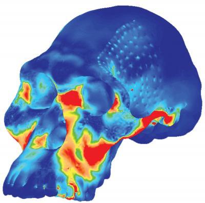 Image of Simulated Australopithecus Africanus