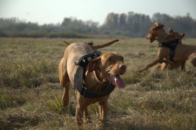 Vizsla Dog with GPS Harness