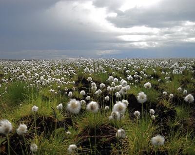 Cottongrass Regrows at Site of Anaktuvuk River Fire in Arctic Alaska