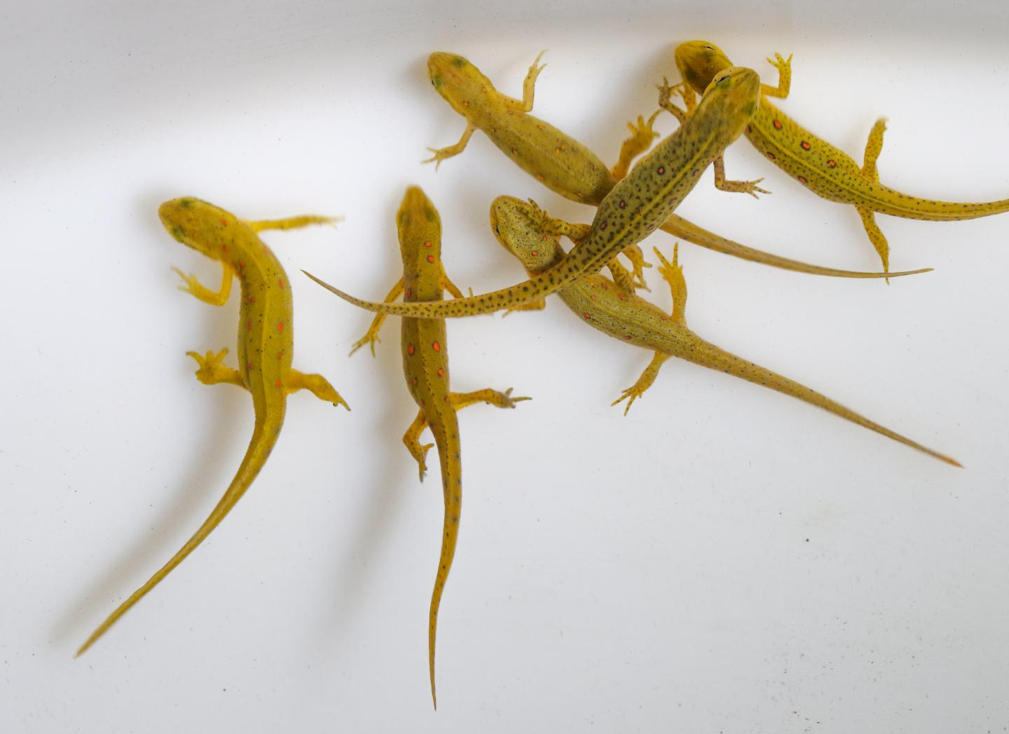 Eastern Newts in Close Proximity in Captivity