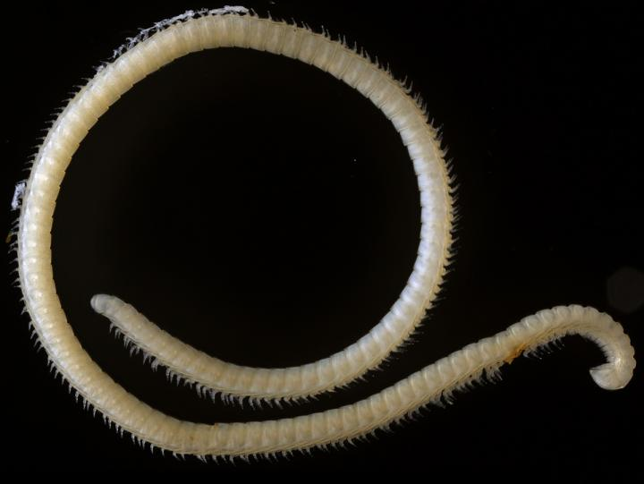 The New Species of Extremely Leggy Millipede