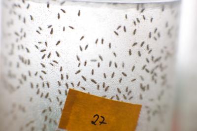 <i>Drosophila</i> Aging