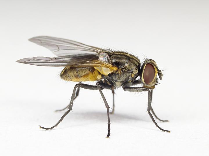 Housefly (<i>Musca domestica</i>)