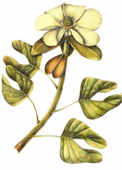 <i>Archaeanthus</i> Resonstruction