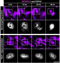 'Bait' Oligonucleotide Saves Neurons from TDP-43 Accumulation