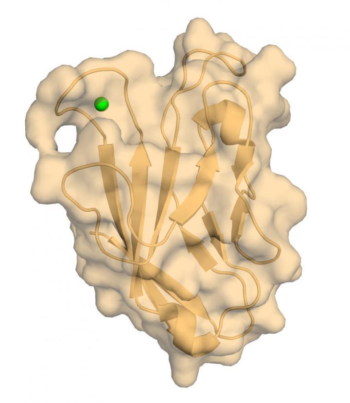 Human TIM-3 with Bound Calcium
