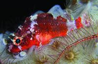 One of the New Scorpionfish' Two western Atlantic Congeners
