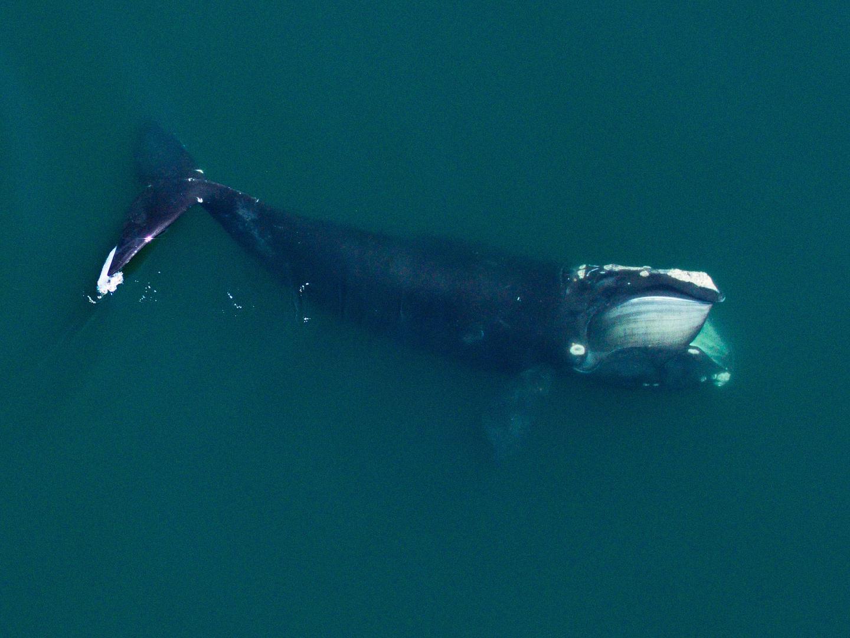 North Atlantic right whale in Cape Code Bay