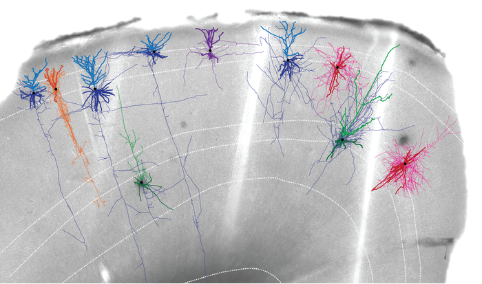 Human Brain Tissue Image with Neuron Reconstructions