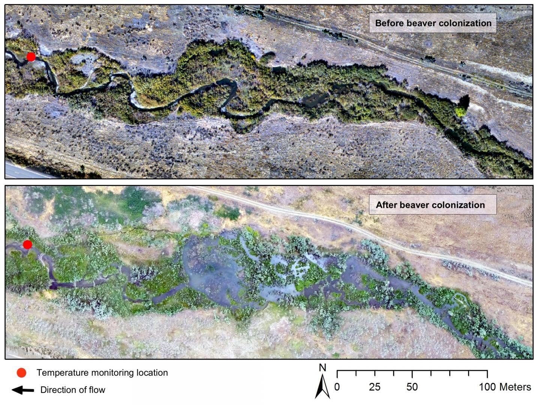 Beaver Dams May Buffer against Temperatures that Threaten Sensitive Species